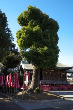 穴守稲荷神社(クスノキ)