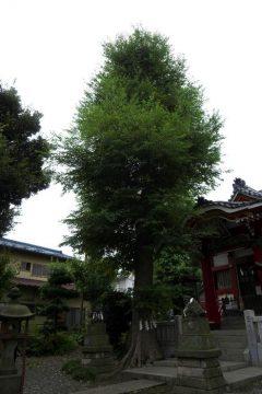 道々橋八幡神社(ムクノキ)