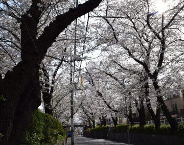 桜坂(桜)