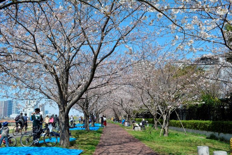 ガス橋緑地付近(二十一世紀桜)