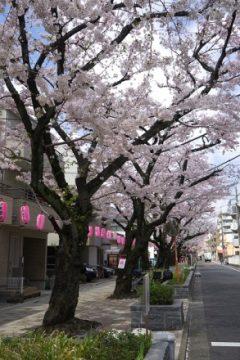 馬込桜並木(桜)