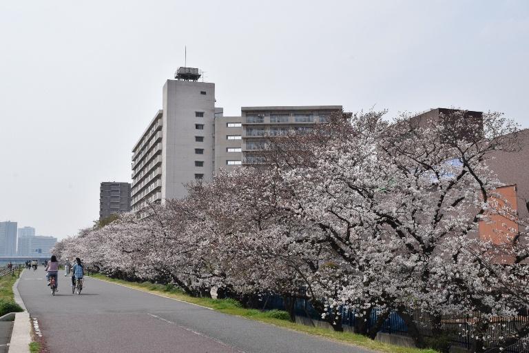 六郷橋緑地堤防桜並木