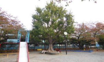 仲六郷三丁目公園(トウカエデ)