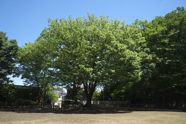 本門寺公園(ケヤキ)