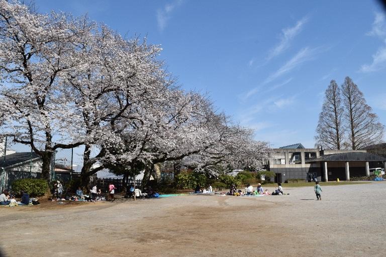 多摩川台‗桜