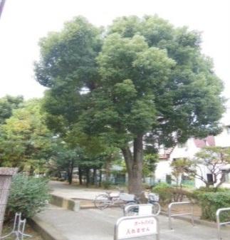 旧呑川緑地(クスノキ)