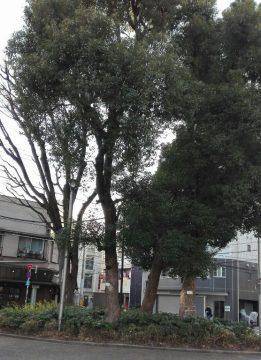 西蒲田公園(クスノキ)