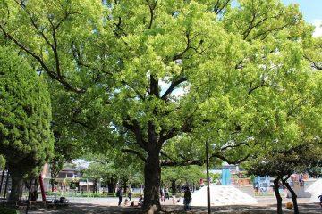 萩中公園(クスノキ)