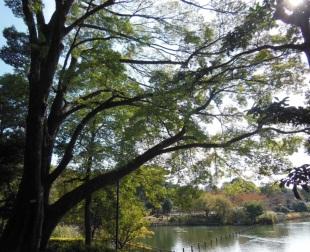 洗足池公園(ムクノキ)