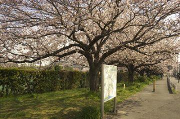 本羽田公園(桜)