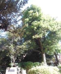 千鳥いこい公園(クスノキ)