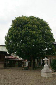 白山神社(タブノキ)
