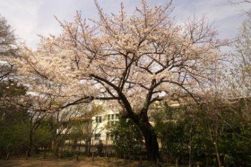 千鳥いこい公園(桜)