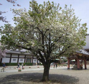 池上本門寺境内(桜)