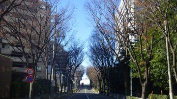ガス橋街路樹(ケヤキ)