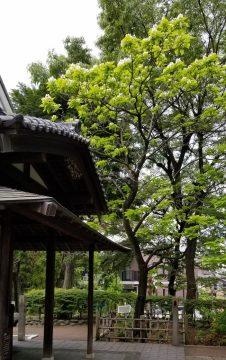 蘇峰公園(カタルパ)